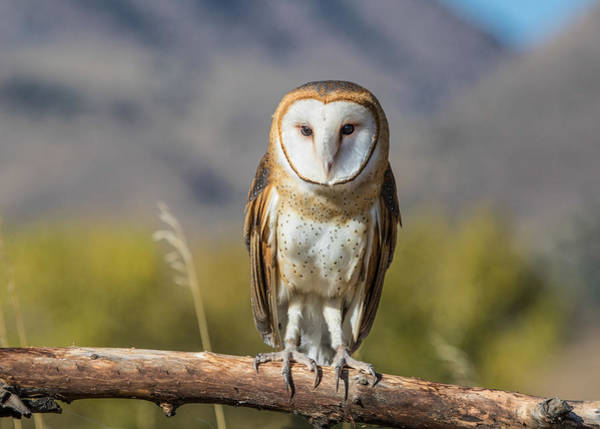 Wall Art - Photograph - Barn Owl On A Branch by Dawn Key