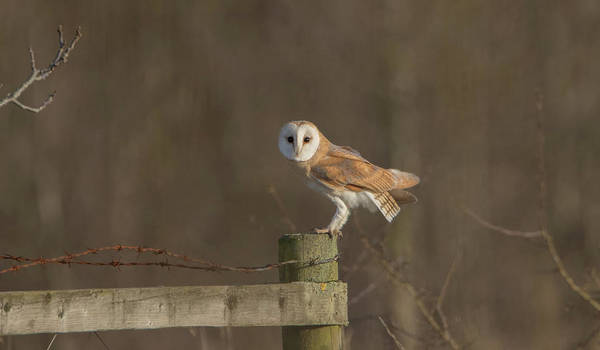 Photograph - Barn Owl On Fence by Peter Walkden
