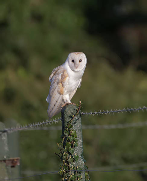 Photograph - Barn Owl On Ivy Post by Peter Walkden