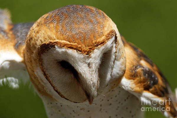 Photograph - Barn Owl - On The Hunt by Sue Harper