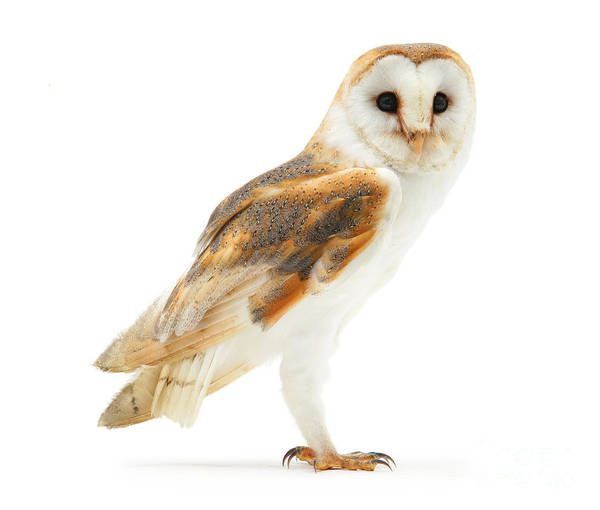 Photograph - Barn Owl On White by Warren Photographic