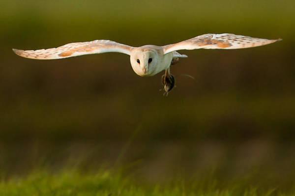 Wall Art - Photograph - Barn Owl by Paul Neville