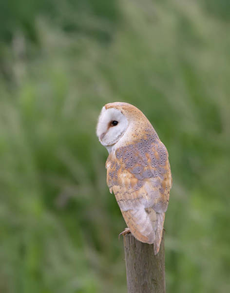 Photograph - Barn Owl Perched On Post by Peter Walkden