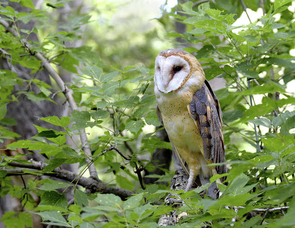 Photograph - Barn Owl Portrait by Judi Dressler