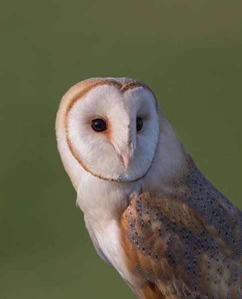 Photograph - Barn Owl Portrait by Peter Walkden