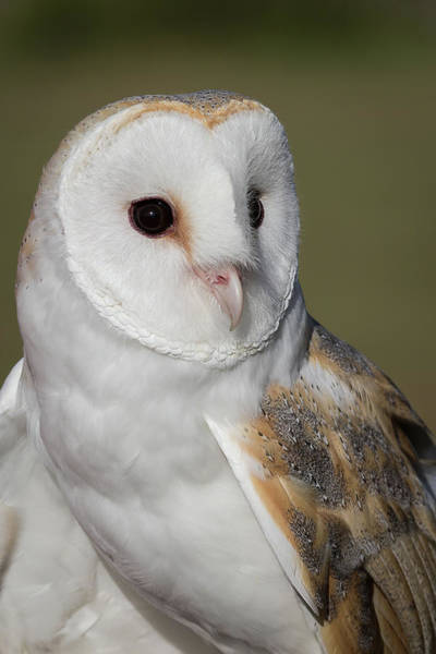 Photograph - Barn Owl Portrait - Winged Ambassadors by Dawn Currie