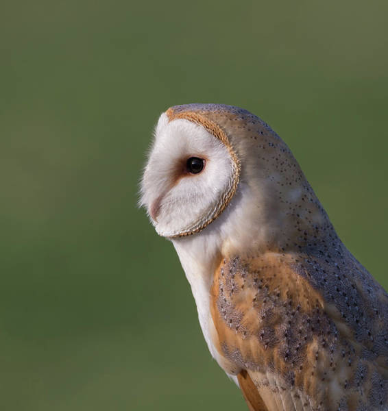 Photograph - Barn Owl Profile by Peter Walkden