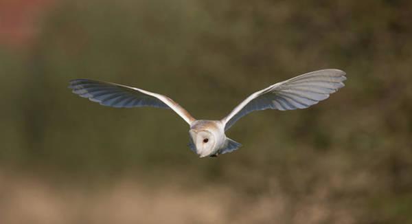Photograph - Barn Owl Quartering by Peter Walkden
