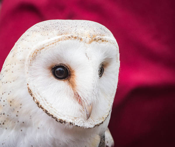 Photograph - Barn Owl by Robin Zygelman