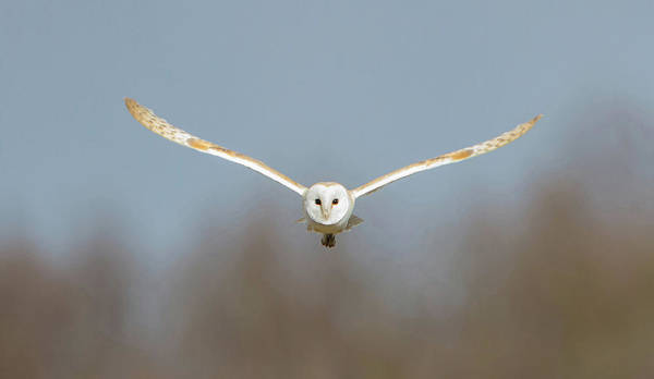 Photograph - Barn Owl Sculthorpe Moor by Peter Walkden