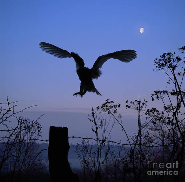 Photograph - Barn Owl Silhouette With Moon by Warren Photographic