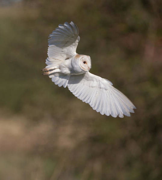 Photograph - Barn Owl Wings by Peter Walkden