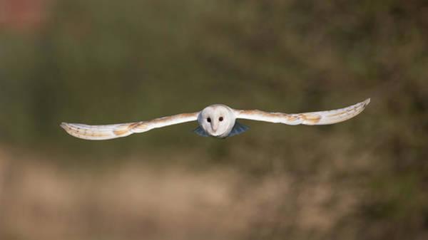 Photograph - Barn Owl Wingspan by Peter Walkden