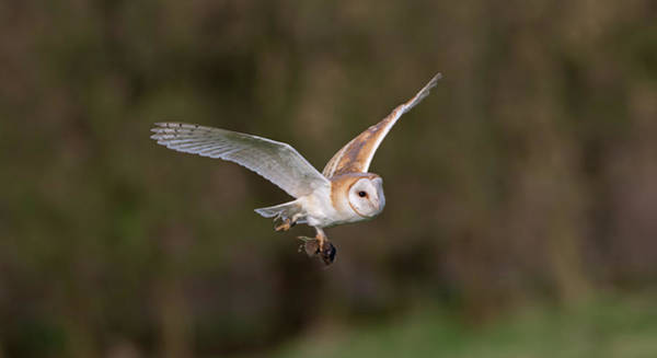 Photograph - Barn Owl With Vole by Peter Walkden