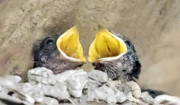 Photograph - Barn Swallow Chicks by William Bitman