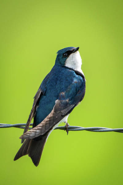 Photograph - Barn Swallow by Jeff Phillippi