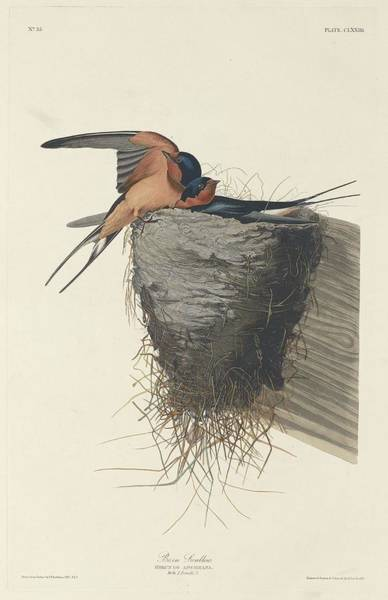 Barn Drawing - Barn Swallow by Dreyer Wildlife Print Collections