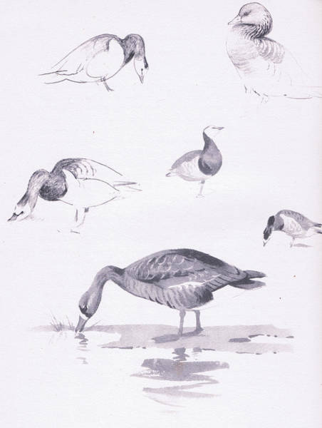 Water Fowl Painting - Barnacle And White Fronted Geese by Archibald Thorburn