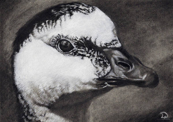 White Goose Drawing - Barnacle Goose by Leon Willis