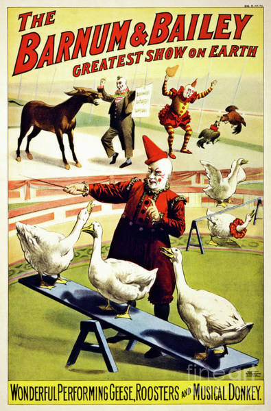 White Goose Drawing -  Barnum And Bailey Circus Geese And Musical Donkey by Aapshop