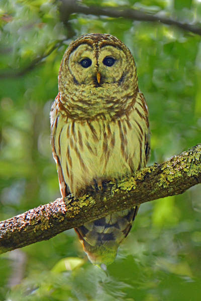 Wall Art - Photograph - Barred Owl by Alan Lenk