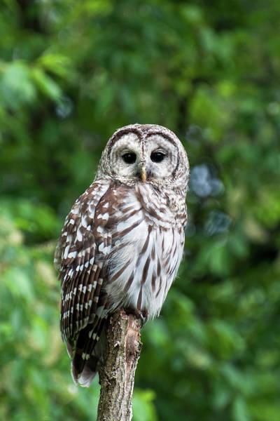 Timonium Wall Art - Photograph - Barred Owl by Benjamin DeHaven