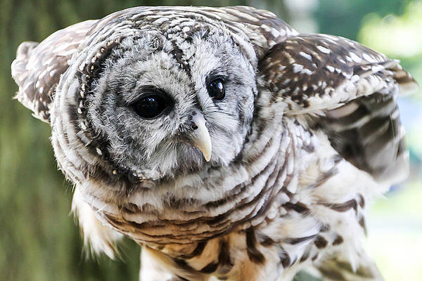 Photograph - Barred Owl by Bob Slitzan