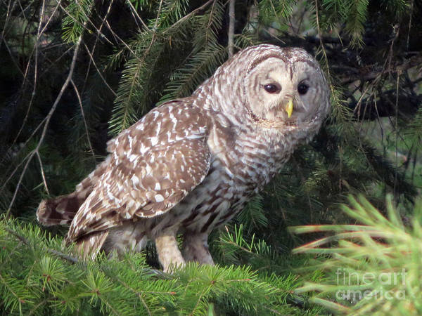Photograph - Barred Owl by Cindy Murphy - NightVisions