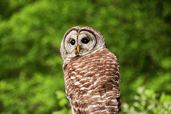 Photograph - Barred Owl Closeup by Peggy Collins