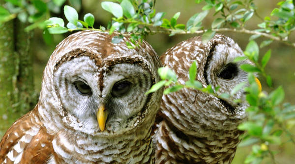 Photograph - Barred Owl Companions by Donna Proctor
