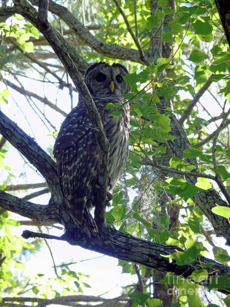 Photograph - Barred Owl by D Hackett