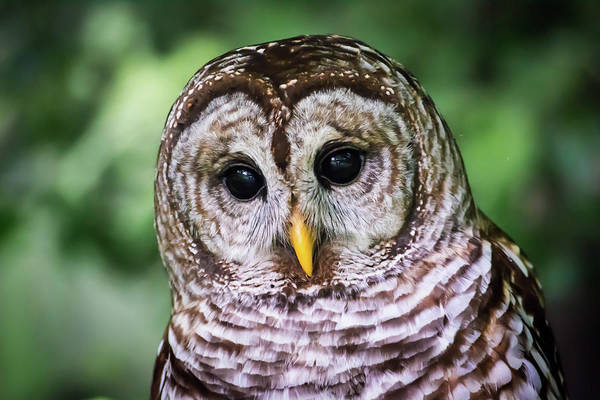 Wall Art - Photograph - Barred Owl Dad by Linda Eszenyi