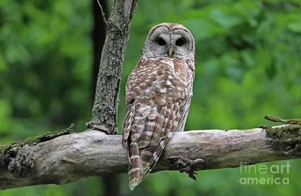 Wall Art - Photograph - Barred Owl by Elizabeth Winter