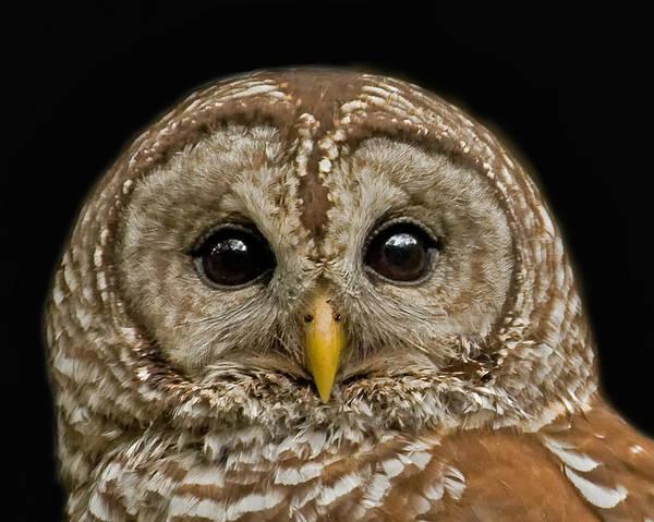 Barred Owl Fledgling Art Print