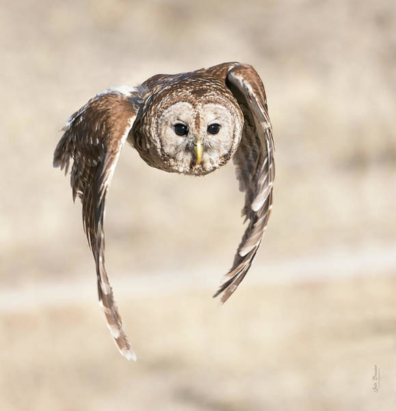 Photograph - Barred Owl Flight by Judi Dressler
