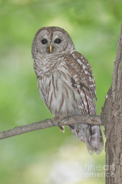 Photograph - Barred Owl I by Clarence Holmes