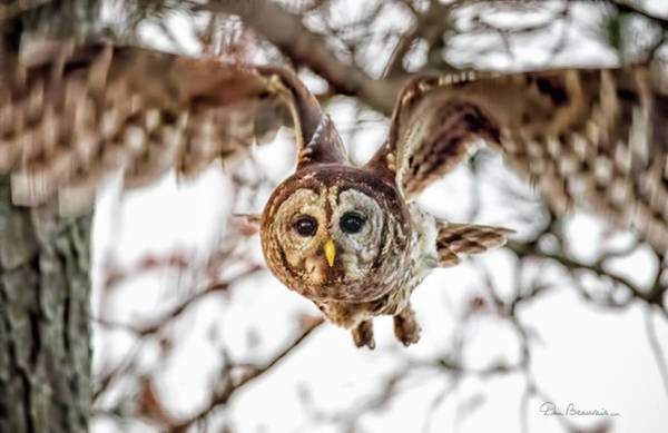 Photograph - Barred Owl In Flight 4830 by Dan Beauvais