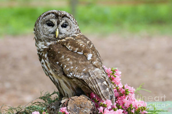 Photograph - Barred Owl In The Flowers by Jill Lang