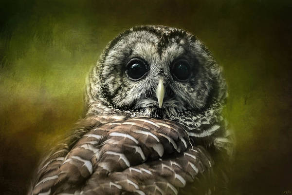 Photograph - Barred Owl In The Grove by Jai Johnson