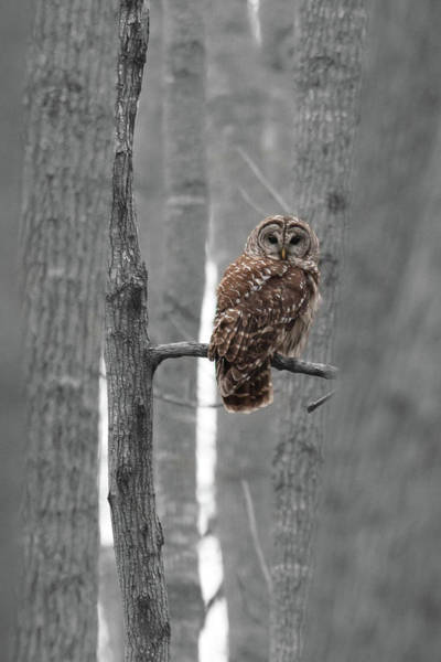 Photograph - Barred Owl In Winter Woods #1 by Paul Rebmann