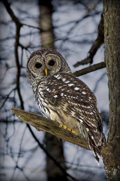 Photograph - Barred Owl by Patricia Montgomery