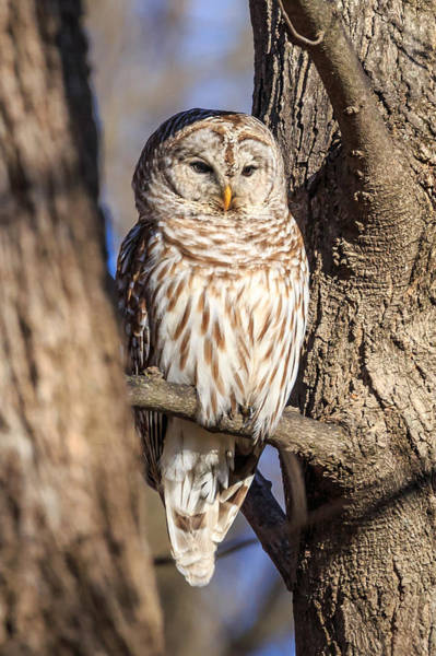 Photograph - Barred Owl by Paul Schultz