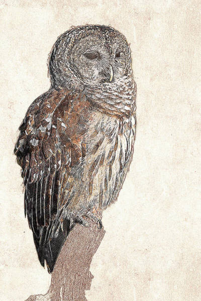 Photograph - Barred Owl Photographic Drawing by Dawn Currie