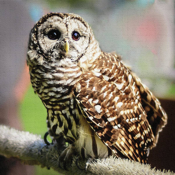 Photograph - Barred Owl by Robert Mitchell