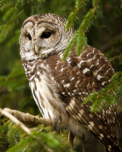 Barred Owl Photograph - Barred Owl by Ron  McGinnis