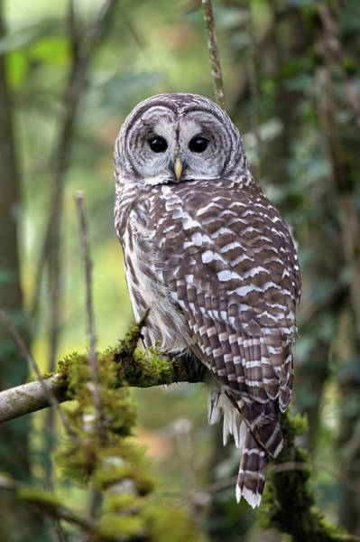 Metro Vancouver Wall Art - Photograph - Barred Owl Strix Varia Closeup by Michael Russell