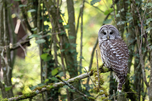 Metro Vancouver Wall Art - Photograph - Barred Owl Strix Varia Perched In Forest by Michael Russell
