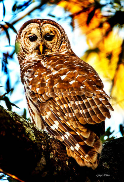 Wall Art - Photograph - Barred Owl Sunset by Greg Waters