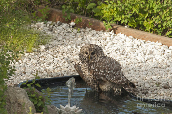 Photograph - Barred Owl Taking A Bath by Cindy Murphy - NightVisions