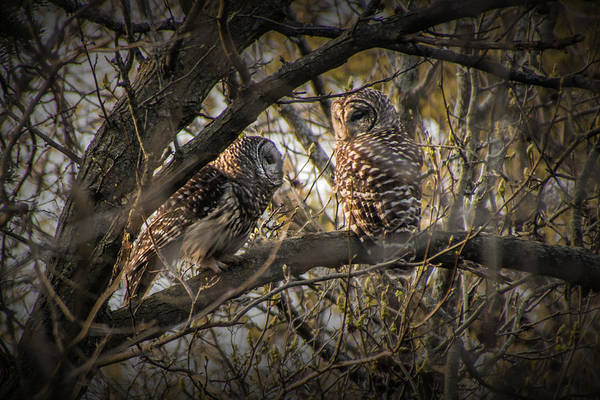 Photograph - Barred Owls Perched On A Tree Branch by Randall Nyhof